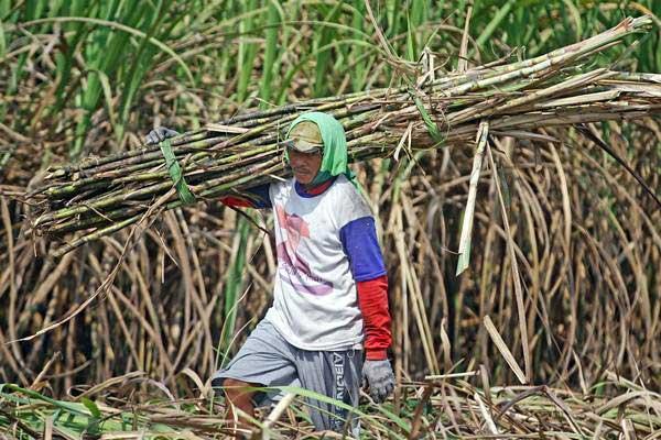 Bangun Pabrik Gula, Kementan Anggarkan Rp 41,44 Triliun